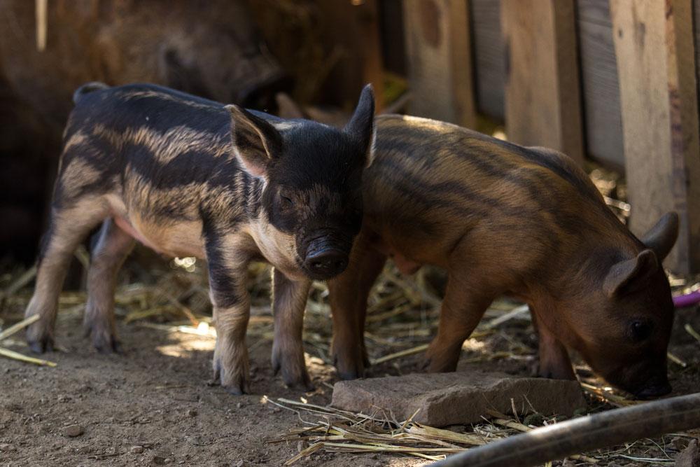 Wollschweine (Mangalica)